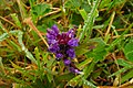 Prunela (Prunella vulgaris) (14742880124).jpg