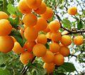 Prunus - Spilling - yellow - on branch.JPG