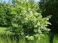 Prunus serotina kz1.jpg