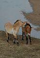 Przewalskis horse 03.jpg