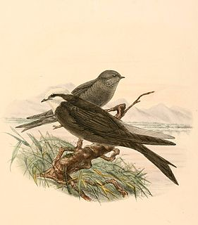 White-headed saw-wing species of bird
