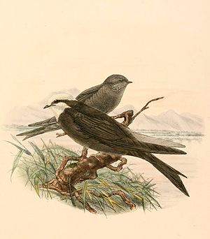 White-headed saw-wing - Image: Psalidoprocne albiceps 1894