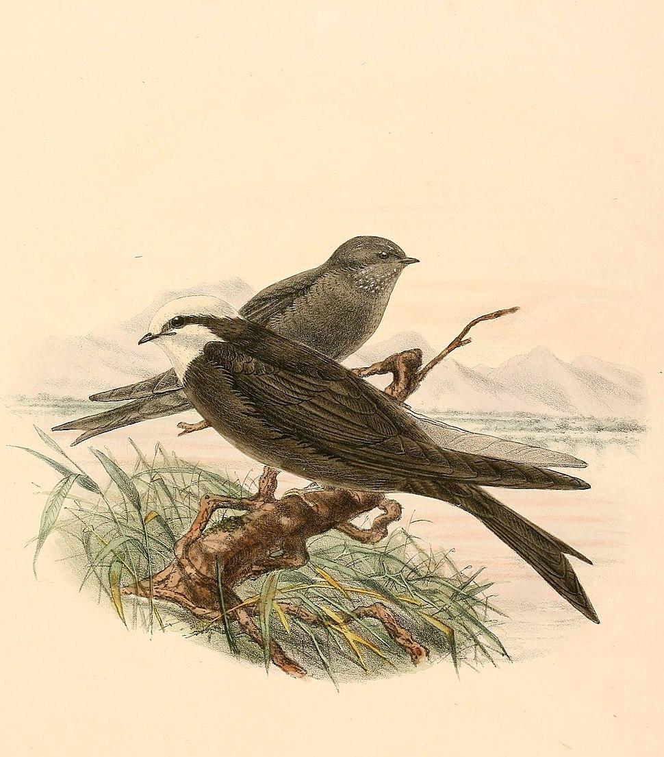 Psalidoprocne albiceps 1894