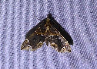 <i>Psaliodes</i> Genus of moths