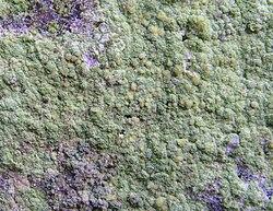 Psilolechia lucida Koad Krenn - Pont Callec.jpg