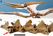 Fossil of a pterosaur called Pteranodon with a closeup of the neck vertebra showing a shark tooth lodged inside it