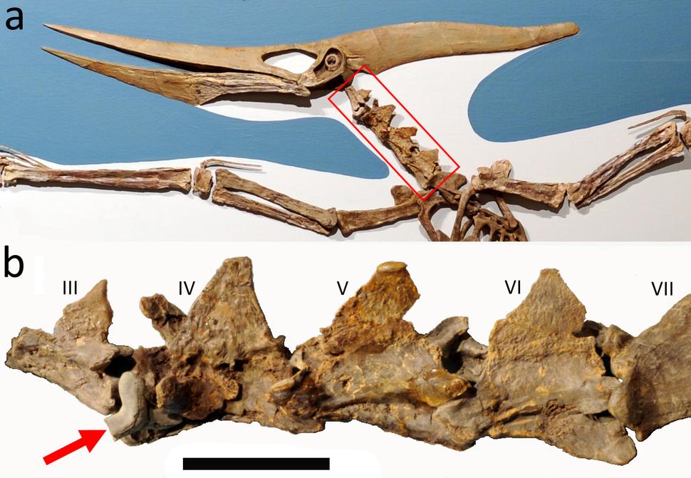 Pteranodon with Cretoxyrhina tooth