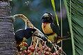 Pteroglossus torquatus -Belize-8.jpg
