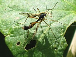 Ptychoptera contaminata (phantom crane fly), Arnhem, the Netherlands.jpg