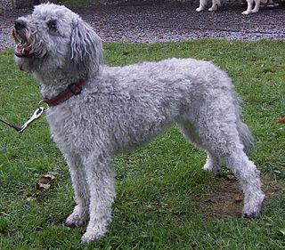 Pumi (dog) Dog breed