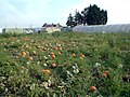 Pumpkin patch by Oaks Track SM6 - geograph.org.uk - 49299.jpg