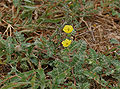 Puncture Vine (Tribulus terrestris) in Hyderabad, AP W IMG 7935.jpg