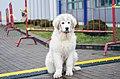 "Puppy of a pyrenean mountain dog ""Romtat Farm Indigo"".jpg"
