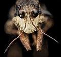 Pygmy Grasshopper, U, Face, Upper Marlboro 2013-08-02-15.25.52 ZS PMax (9428626767).jpg