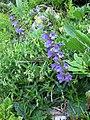 Pyrenäen-Drachenmaul (Horminum pyrenaicum).jpg