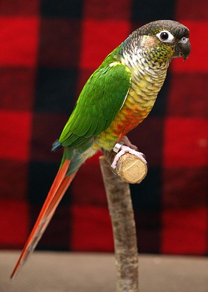Green-Cheeked Conures ...