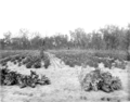 Queensland State Archives 2656 A Soldiers orchard Pikedale January 1920.png