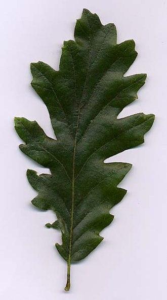 Quercus cerris - Image: Quercus cerris 1