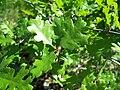 Quercus lobata-6.jpg