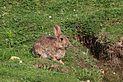 Rabbit (Oryctolagus cuniculus) Aston Upthorpe.jpg