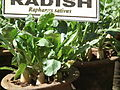 Raddish plant ( Raphanus sativus ) from lalbagh 2341.JPG