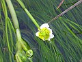 Ranunculus aquatilis Enfoque 2011-2-13 SierraMadrona.jpg