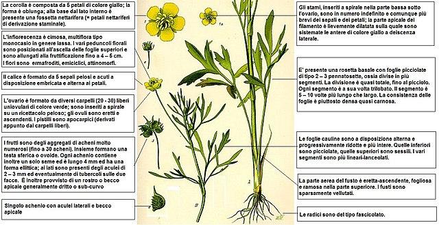 Fiore Giallo 6 Petali.File Ranunculus Arvensis Thome Desc Jpg Wikimedia Commons