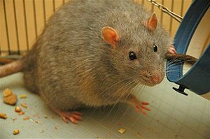 Eating disorders and memory - A Zucker rat which has developed diabetes due to a genetic disorder that causes obesity.