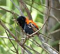 Red-backed Fairy-wren. Male. Malurus melanocephalus. Preening after bathing. - Flickr - gailhampshire.jpg