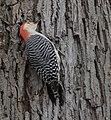 Red-bellied Woodpecker (33186954212).jpg