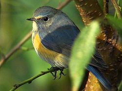 Red-flanked Bluetail.jpg
