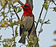Red-headed Weaver male RWD.jpg