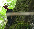 Red-necked Woodpecker (Campephilus rubricollis) (40579579051).jpg