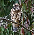 Red-shouldered Hawk (Buteo lineatus) - Flickr - jkirkhart35.jpg
