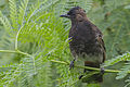 Red-vented Bulbul Juvenile morphing stage to adulthood Kolkata Outskirt West Bengal India 09.09.2014.jpg