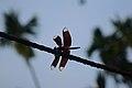 Red Dragonfly in Assam.jpg