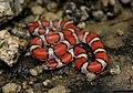 Red Milk Snake (Lampropeltis triangulum syspila) (18274863355).jpg