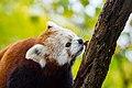Red Panda (37832813754).jpg