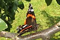 Red admiral (NH266) (15703117660).jpg