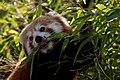 Red panda (3956006821).jpg