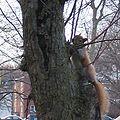 Red squirrel 400px.jpg
