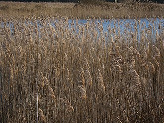 Redgrave and Lopham Fens - Restored Phragmites reed bed and pond