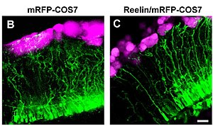 Reelin - Image: Reelin controls directed growth of radial fibers journal.pone.0001454 .g 005 center cropped