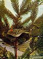 Regulus calendula 1905.jpg