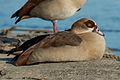 Resting Egyptian goose near Oestrich-Winkel, Germany 20150207 2.jpg