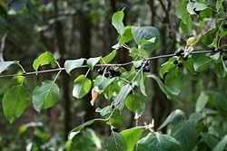 Rhamnus cathartica 1.jpg