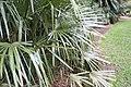 Rhapidophyllum hystrix 17zz.jpg