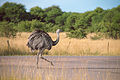 Rhea americana, Parque Luro, La Pampa, Argentina 1.jpg