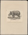 Rhinoceros lasiotis - 1700-1880 - Print - Iconographia Zoologica - Special Collections University of Amsterdam - UBA01 IZ22000211.tif