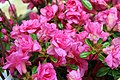 Rhododendron Kimberlys Double Pink 1zz.jpg